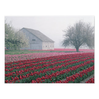 Red and pink tulips greet the day on a misty art photo