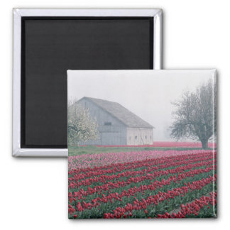 Red and pink tulips greet the day on a misty square magnet