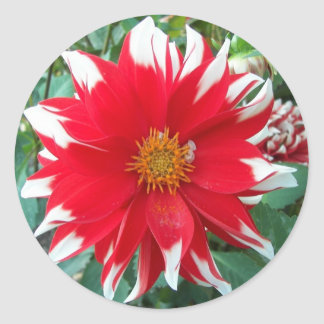 Red and White Dalhia Bloom Floral Photo Round Sticker