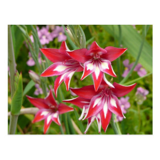 Red and White Gladiolas Summer Garden Floral Postcard