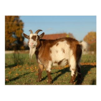 Red and white goat postcard