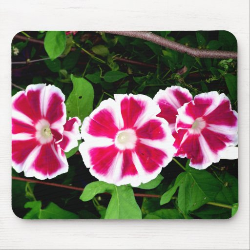 Red and White Morning Glories Mouse Pads