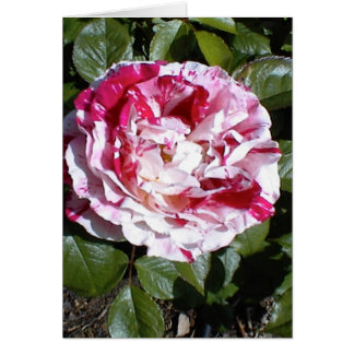 Red and White Striped Rose Card