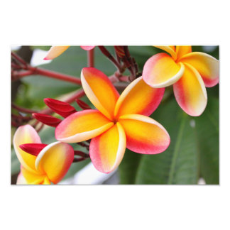 Red and Yellow Plumeria 3 Photo Print