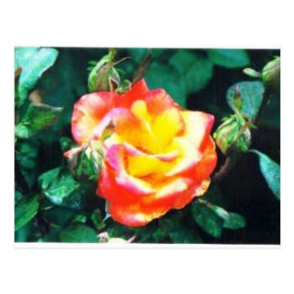 red and yellow rose postcard