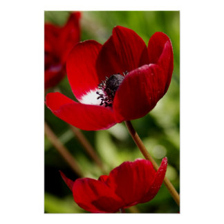 Red Anemone Flower Poster