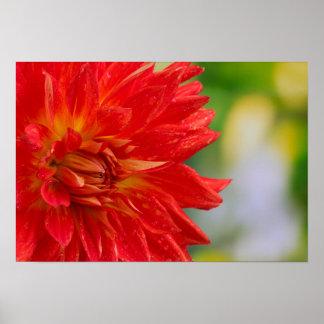 Red autumn dahlia flower in the garden poster