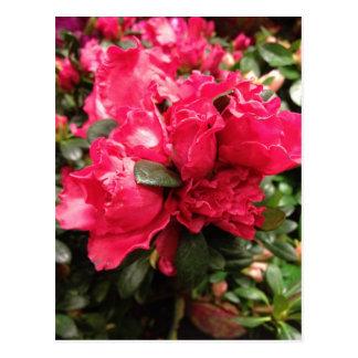 Red Azalea Flowers Postcard