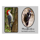 Red Bellied and Downy Woodpecker Postcard