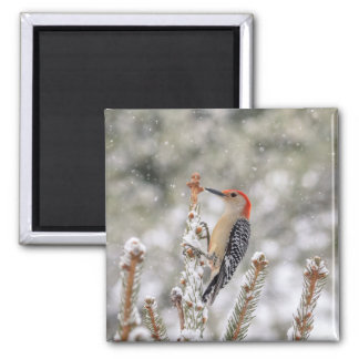 Red-bellied Woodpecker in the snow Magnet