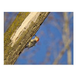 Red-bellied woopecker in tree postcard