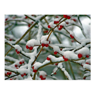 Red Berries in the Winter Snow Postcard