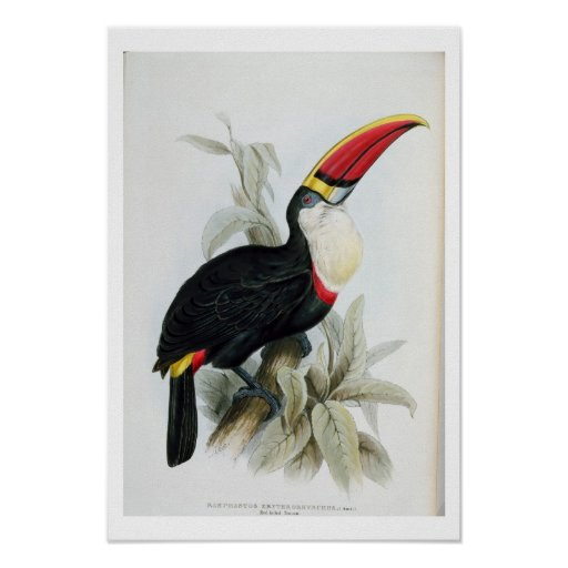 Red-Billed Toucan, from 'A Monograph of the Rampha Posters