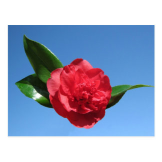 Red Camellia in Blue Sky Post Card