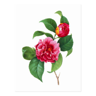 Red Camellias by Pierre-Joseph Redoute Postcard