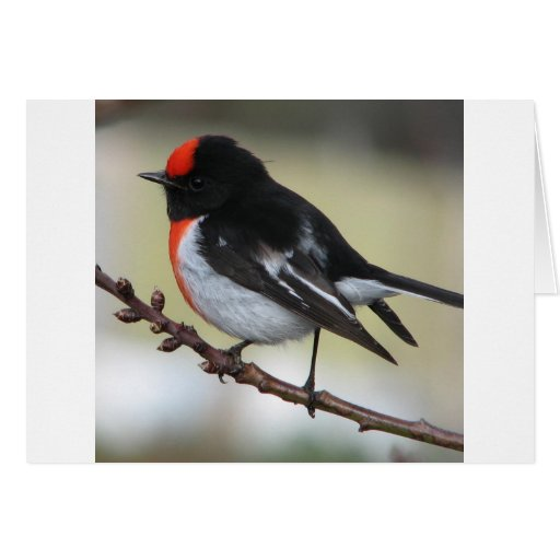 Red Capped Robin Greeting Card