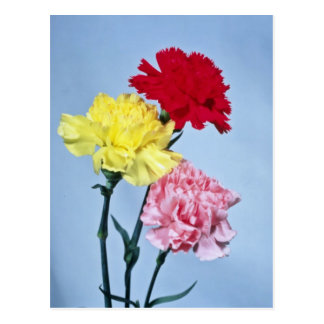 Red Carnation study on white flowers Postcard