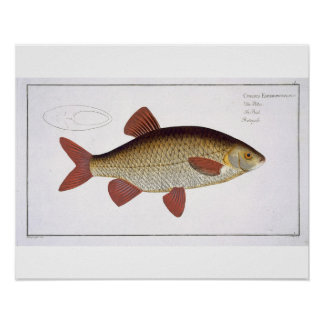 Red Carp (Cyprinus Erithrophthalmus) plate I from Poster