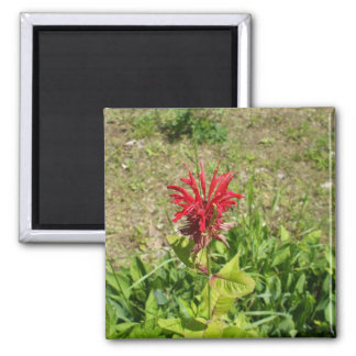 Red Celosia  in Spring Magnet