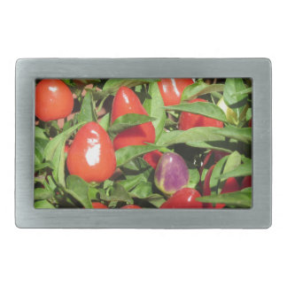 Red chili peppers hanging on the plant belt buckle