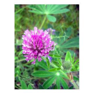 Red Clover Blossom 2 Postcard