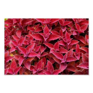 Red Coleus Background Texture Canvas or Poster