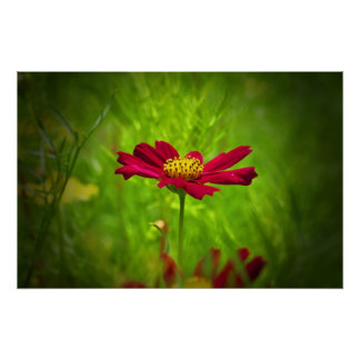 Red cosmos flower poster