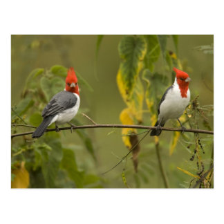 Red-Crested Cardinal Pair, Paroaria coronata, Postcard