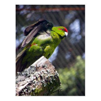 Red-Crowned Parakeet Postcard