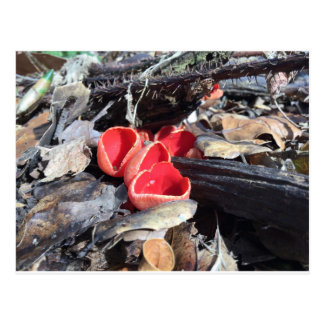 Red Cup Fungus Postcard