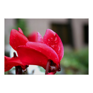 Red Cyclamen flower poster