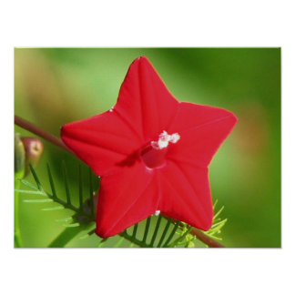 Red Cypress Vine Poster