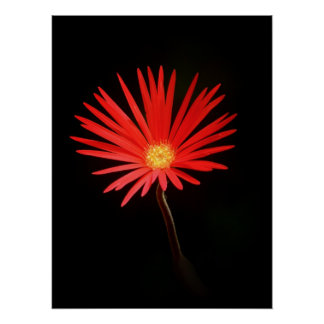 Red Daisy flower Poster
