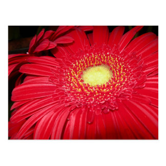 Red Daisy Postcard