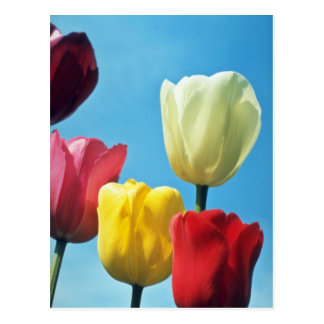 Red Darwin Tulips flowers Postcard