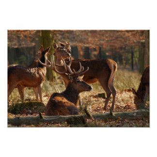 Red Deers In The Autumnal Wood Poster