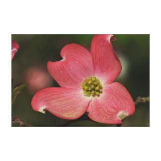 Red Dogwood Bloom on Canvas Stretched Canvas Print