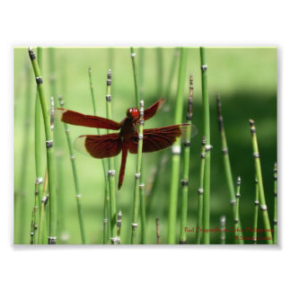 Red Dragonfly Print Photo