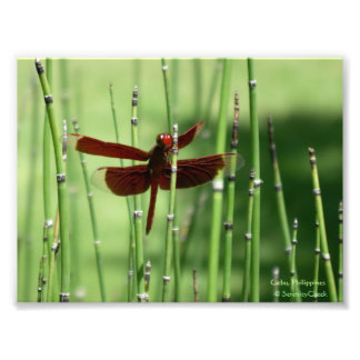 Red Dragonfly Print Photographic Print
