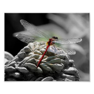 Red Dragonfly (Sympetrum vicinum) Poster