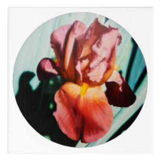 Red Dutch Iris Acrylic Print