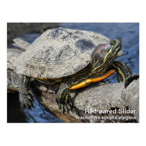 Red-eared Slider Postcard