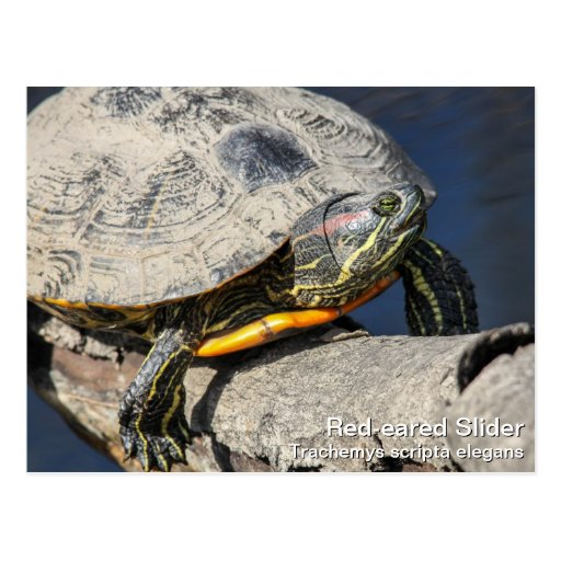 Red-eared Slider Post Card