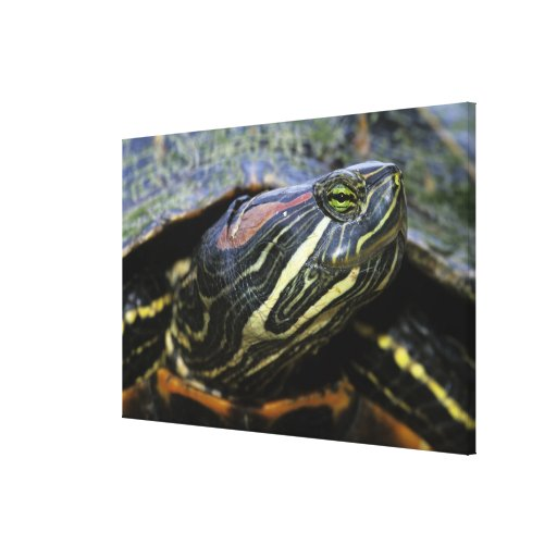 Red-eared Slider, Trachemys scripta elegans, 2 Gallery Wrap Canvas