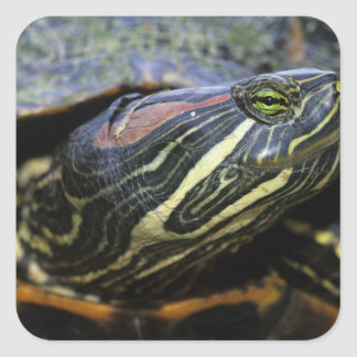 Red-eared Slider, Trachemys scripta elegans, 2 Square Sticker