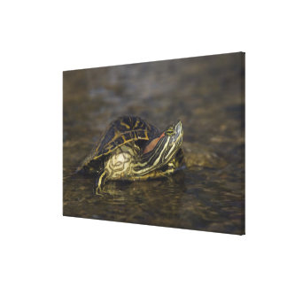 Red-eared Slider, Trachemys scripta elegans, Gallery Wrapped Canvas