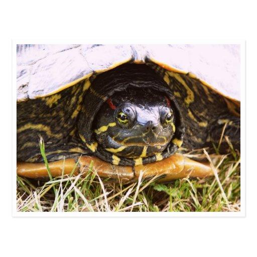 Red Eared Slider Turtle Head Postcard
