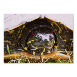 Red Eared Slider Turtle Head Poster