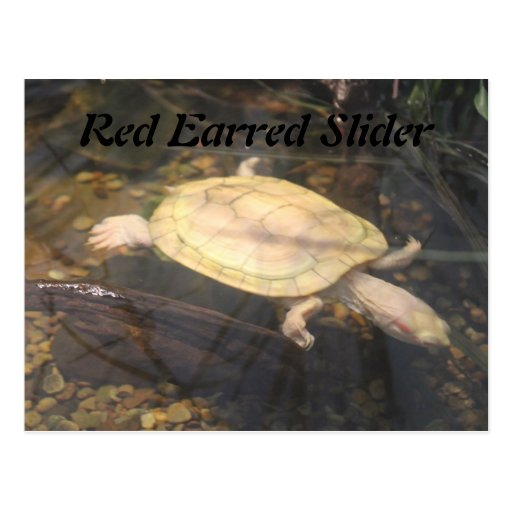 Red Earred Slider Post Card
