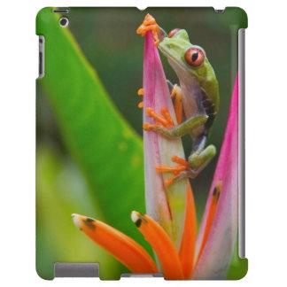 Red-eye tree frog, Costa Rica 2